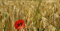 Difendere l'origine del grano è l'unica arma per l'industria pastaria italiana nella competizione globale