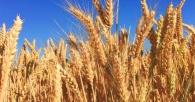 Il prezzo del grano registra alla borsa merci di Chicago un balzo record del 7,4%